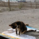 Cats Return to the Atlantic City Boardwalk