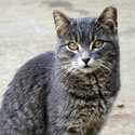 Grey eartipped tabby on concrete