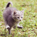Leaping Kitten