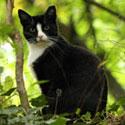 Tuxedo cat in ivy